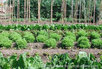 El cultivo de verduras y hortalizas for Que es la asociacion de cultivos