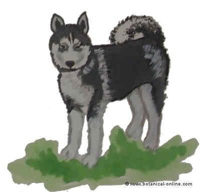 Dibujo de husky siberiano