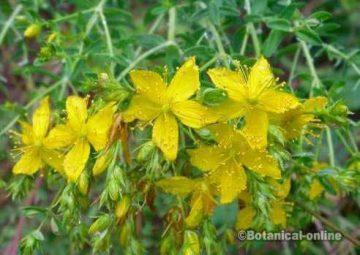 hiperico hierba de san juan en flor