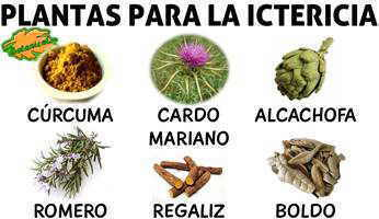 remedios con plantas medicinales tratamiento natural de la ictericia
