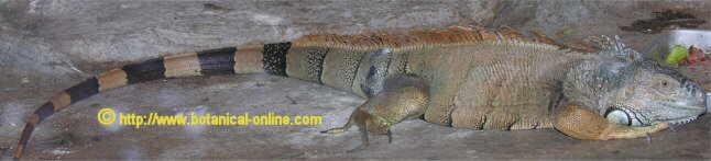 Cuidados y cra de la iguana