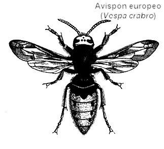 avispón europeo