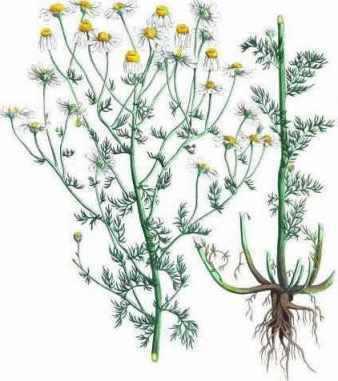 Propiedades medicinales de la manzanilla