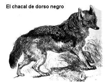 Chacal de dorso negro