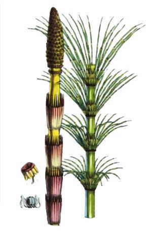 Tipos De Cola De Caballo Botanical Online