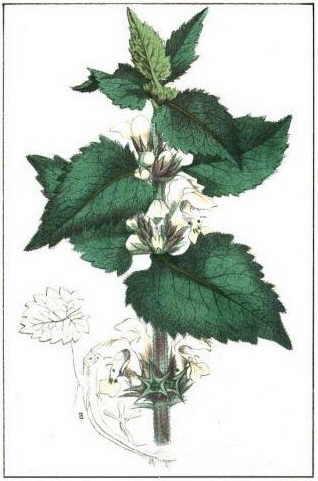 bledo hojas inflorescencia