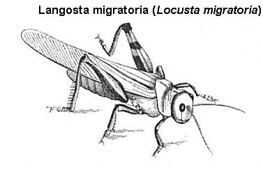 langosta migratoria