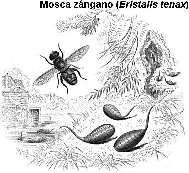 mosca zángano
