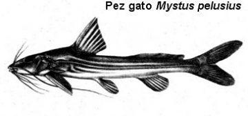 peces gato