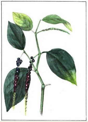 planta trepadora pimienta