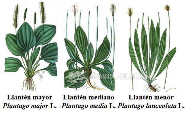 tipos de llantenes plantago media lanceolata major