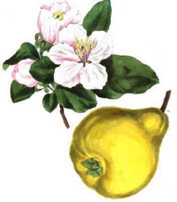Ilustración de un fruto y de las flores