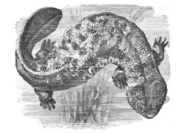 Salamandra gigante del Japón