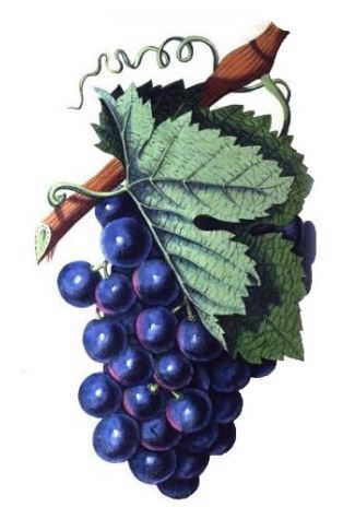 Vid, planta de la uva (Vitis vinifera)