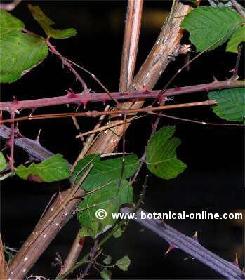 Insectos palo
