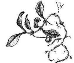 Psychotria ipecacuanha