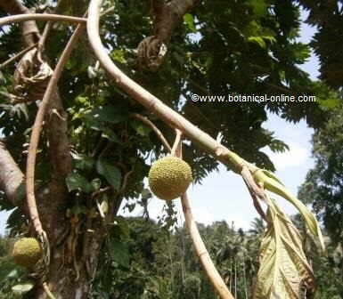 Jackfruit tree with two fruits