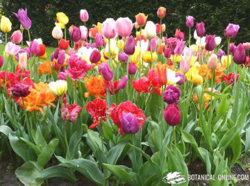 tipos tulipanes variedades en keukenhof