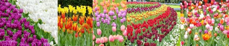 jardin tulipanes ejemplos tipos