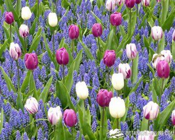 fotografia jardin keukenhof holanda tulipanes