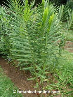 planta del jengibre natural