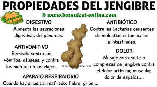 propiedades medicinales del jengibre y beneficios para la salud (zingiber officinale)