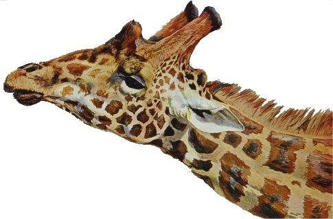 jirafa-cabeza