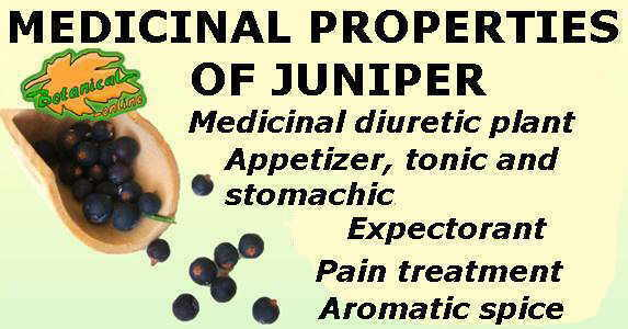 Main medicinal properties of Juniper