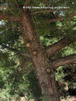 Juniperus phoenicea, detalle del tronco
