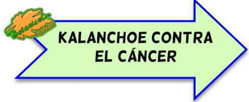 kalanchoe contra el cáncer