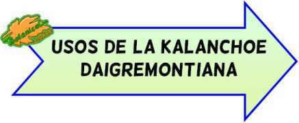 propiedades de la kalanchoe daigremontiana