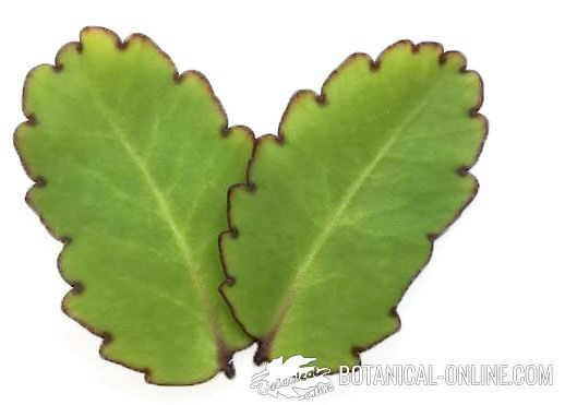 Kalanchoe pinnata Bryophyllum pinnatum