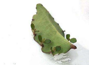 Kalanchoe pinnatum Bryophyllum pinnatum