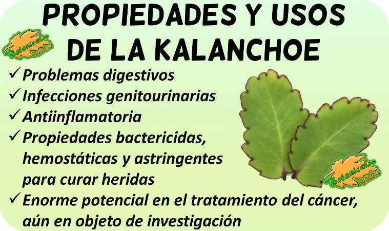 Propiedades medicinales de la planta kalanchoe pinnatum