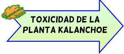 toxicidad kalanchoe