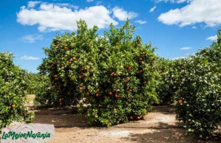 naranjas en el capazo