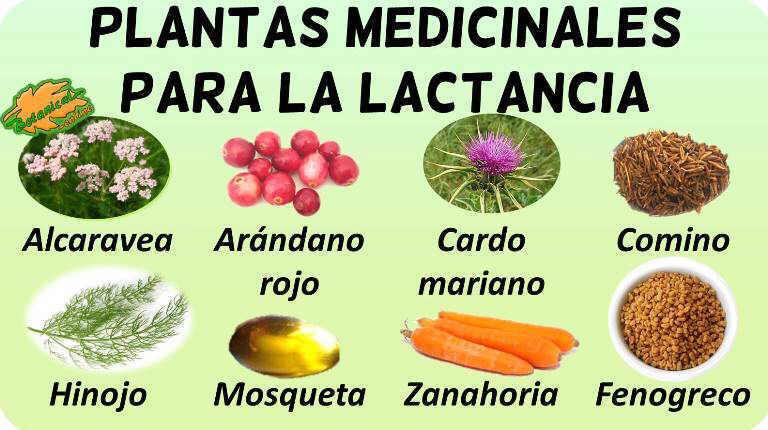lactancia remedios naturales con plantas galactogogas o galactogenas