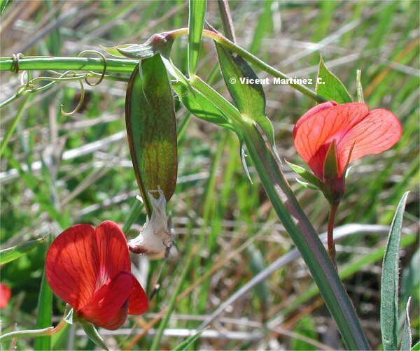 Flor Guixa, Lathyrus sp.