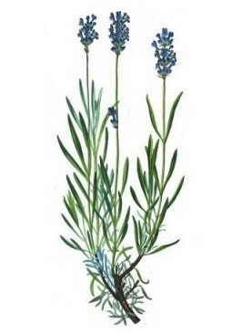 ilustración de botanical