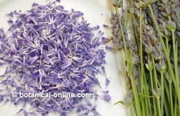 flores de lavanda separadas de la espiga para utilizar en recetas