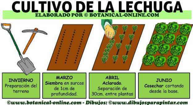 calendario de cultivo de la lechuga