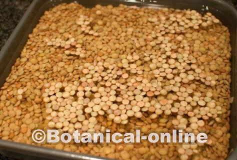 Cocinar Lentejas.Las Lentejas Son Difíciles De Digerir Botanical Online