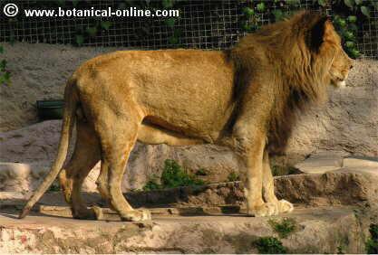 León asiático