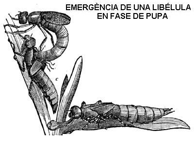 Características de la libélula