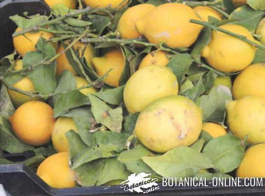 limon mercado
