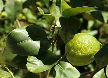 Foto de limon en el árbol