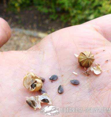 semillas de lino planta fruto
