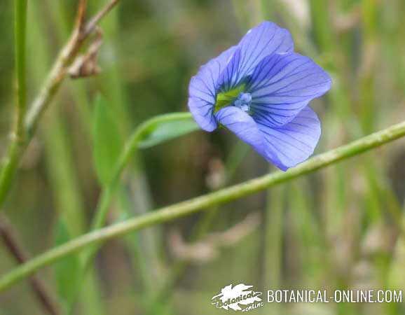 planta de lino flores