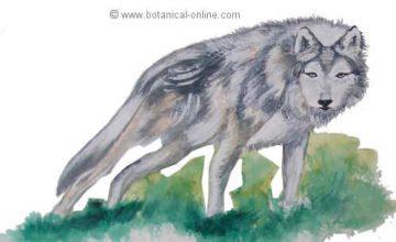 dibujo de lobo