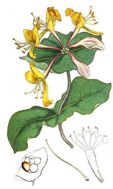 Madreselva gallery - Madreselva planta ...